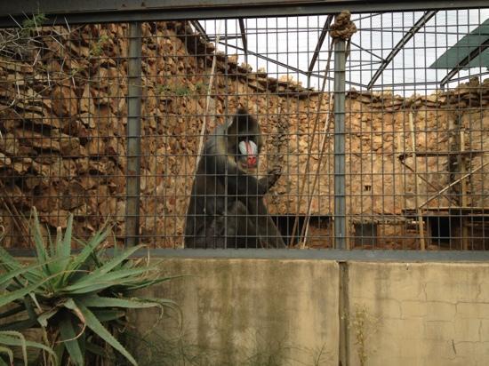 Johannesburg Zoo: Mandrill at the JHB zoo