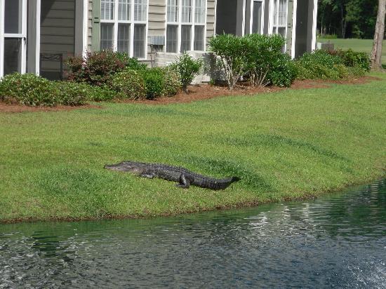 Blackmoor Golf Club: Alligator catching a tan ( Blackmoor Golf Course)