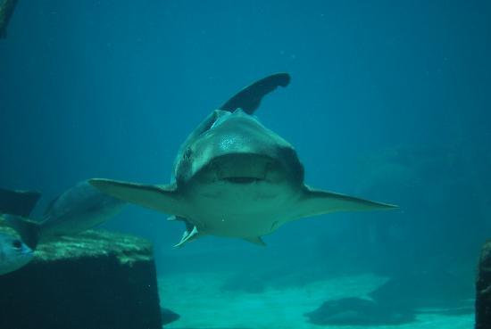 Marine Habitat at Atlantis: Shark