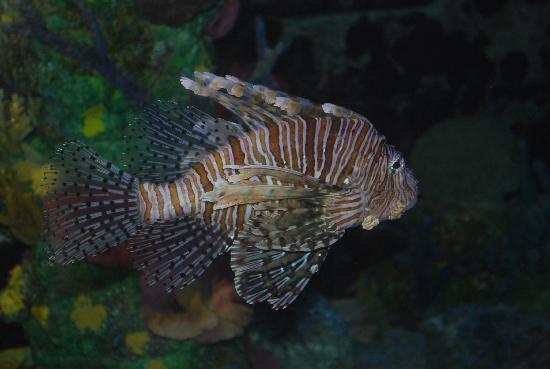 Marine Habitat at Atlantis: Lion Fish