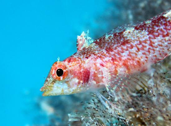 St. Paul's Bay, Malta: Blenny... diving with Maltaqua