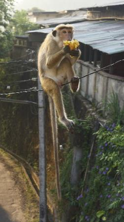 Nature Walk Resort: Un macaque partage notre petit déjeuner