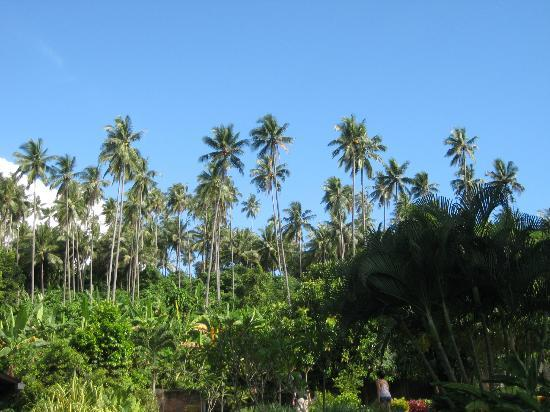 Lumbalumba Diving: Coconut trees at the back of the resort