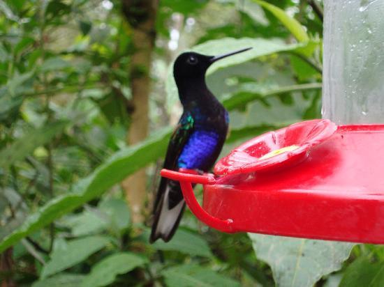 Mindo Cloud Forest Day Tours: Ecuador birding-hummingbirds in Mindo