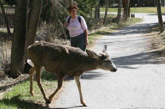 Rundlestone Lodge: One of the Banff resident animals, May 2012