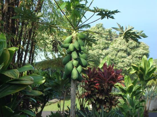 Holualoa Inn: papaya on the property (you'll eat these at breakfast!)