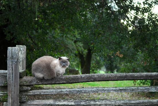 Handley Cellars Winery: vineyard cat