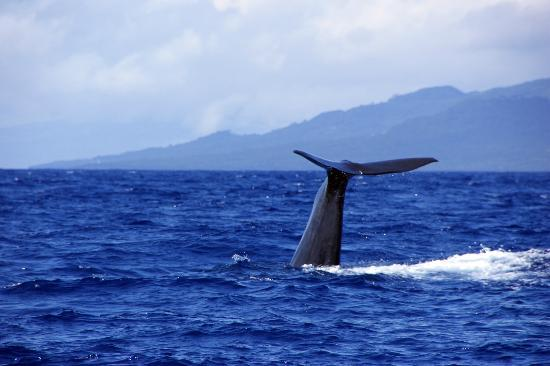 Whale Watching in Lajes do Pico