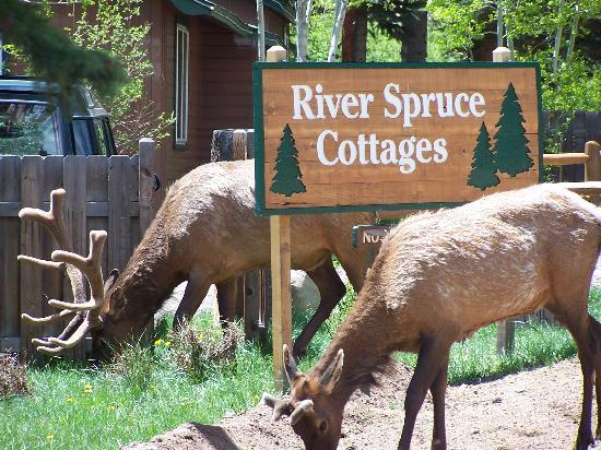 River Spruce : Who needs a lawn mower?