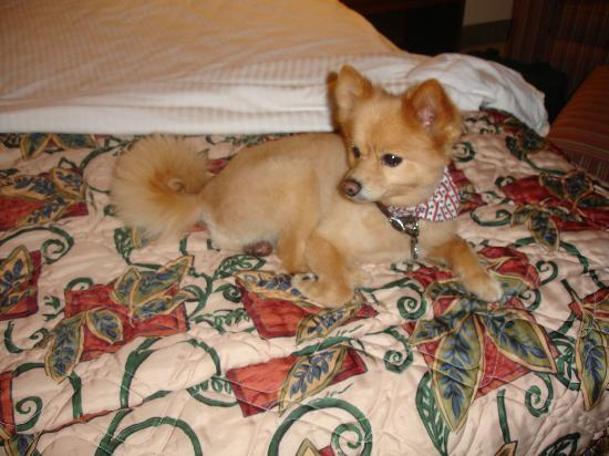 La Quinta Inn & Suites Naples East (I-75): Our Pomeranian Mr. Gus