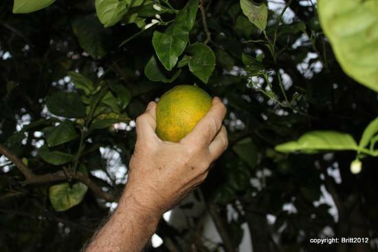 Kauai Country Inn: we enjoyed picking and eating fresh oranges in the garden