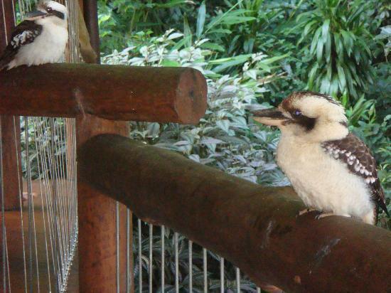 Secrets on the Lake: Visiting kookaburras