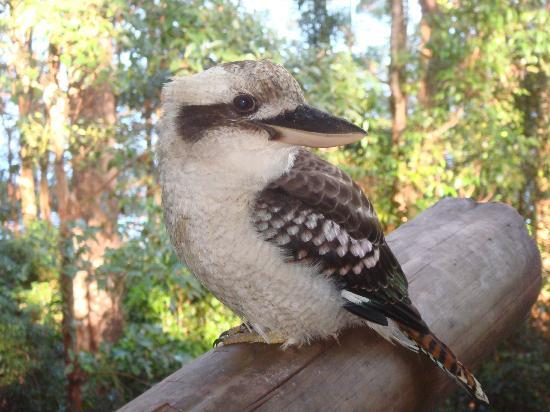 Secrets on the Lake: Friendly kookaburra