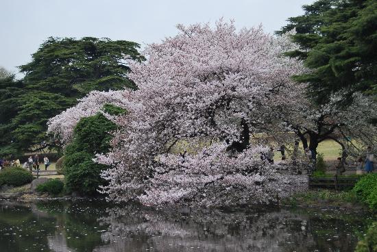 Shinjuku Gyoen National Garden : Cherry blossom