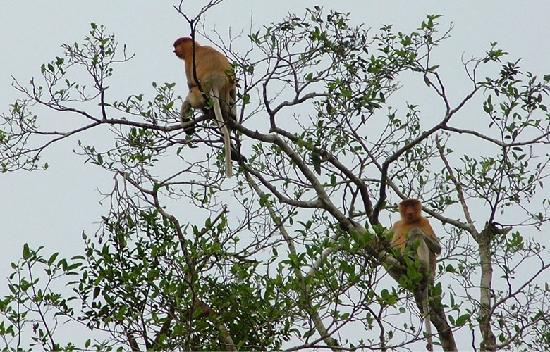 Mountain Trails Tours & Travel: Proboscis Monkey