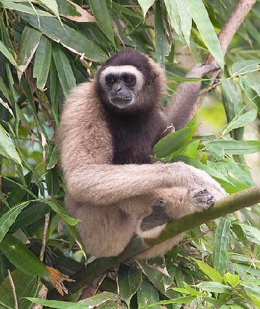 Mountain Trails Tours & Travel: Gibbon