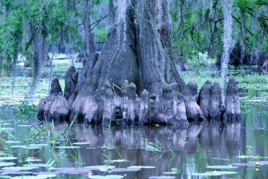Caddo Outback Backwater Tours: Cypress Knees in Caddo