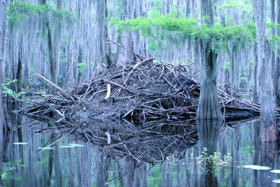Caddo Outback Backwater Tours: Beaver Residence in Caddo