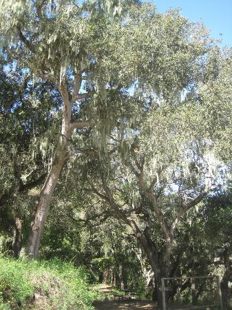 Saddle Mountain RV Park : Spanish moss on oak trees