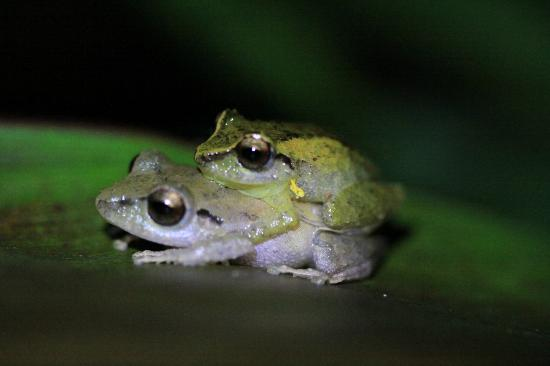 Drake Bay, Kosta Rika: After taking the photo, the little male frog on top reared up and did 4 little push-ups