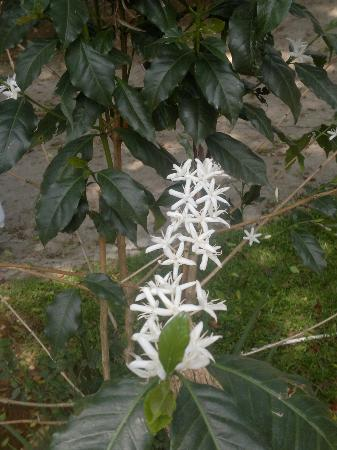 The Regent Hill Side Villa & Resort: coffee flowers