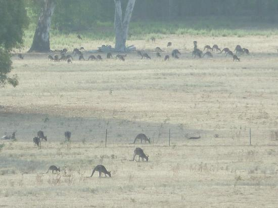Meringa Springs: The herds of Kangaroos