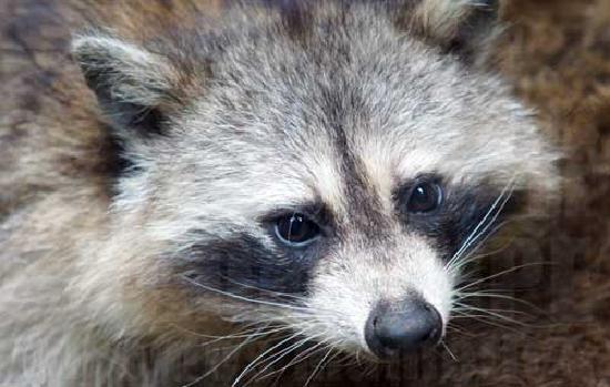 Bouillante, Gwadelupa: Racoon ou Raton Laveur