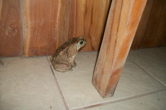 Curu National Wildlife Refuge: a toad visited the porch of the dinning hall