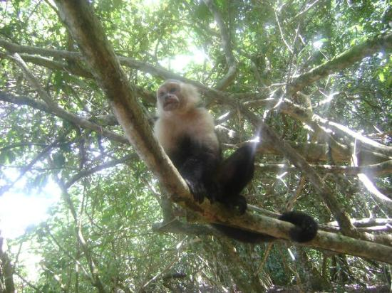 Hostel and Cabinas Secret Garden: A cafe monkey ...right around the corner..National Park...