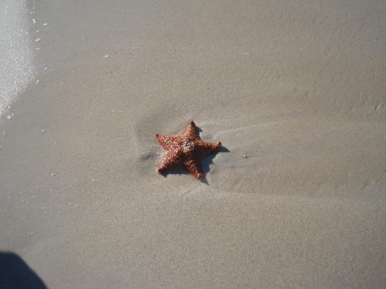 Idle Awhile The Villas: starfish on beach