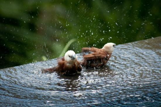 The Damai: birds washing in our pool