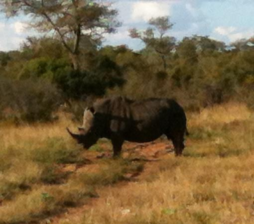 Pungwe Bush Camp: rhino found with open safari viewing vehicle