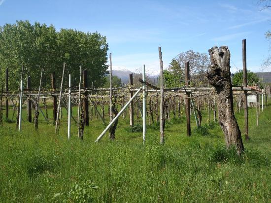 Villa d'Azeglio: Les vignes juste au dessus de la villa