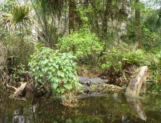 Loxahatchee River: Gator