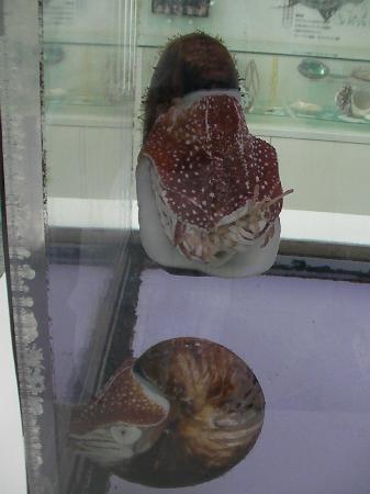 Nishinomiya Shell Museum: オウム貝。