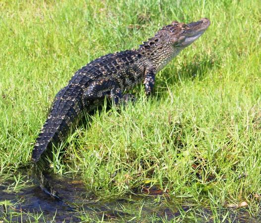 Central Florida Airboat Tours: Little Guy