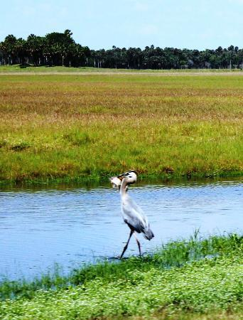 Central Florida Airboat Tours: Bird catching lunch!