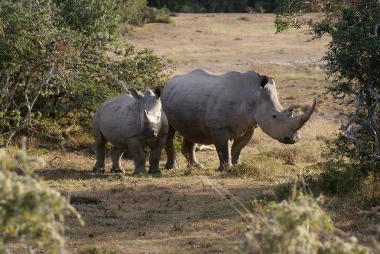 Bucklands Private Game Reserve: Rhinos
