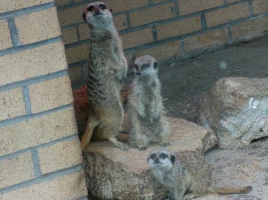 Birmingham Wildlife Conservation Park: Compare the meercat...
