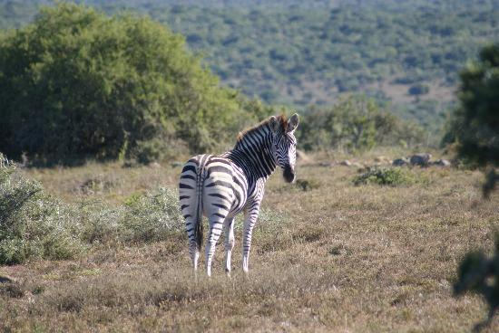 Bucklands Private Game Reserve : Zebra