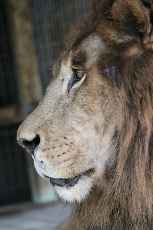 Octagon Wildlife Sanctuary And Rehabilitation Center : lion