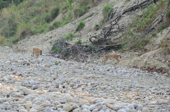 Leisure Vacations Myrica Resort: Tigers spotted by us near Bijrani river bed