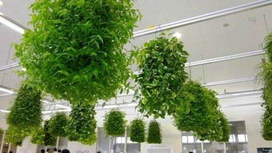 Awaji, اليابان: Hanging green