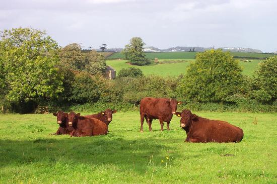 Paignton, UK: Ruby Reds at Occombe Farm