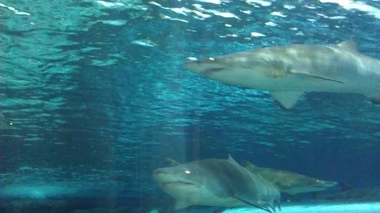 Ripleys Aquarium Sharks In The Underwater Tunnelamazing