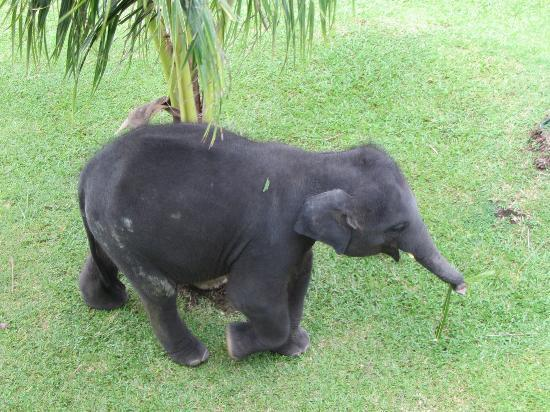 Le Meridien Phuket Beach Resort: Baby elephant Chang