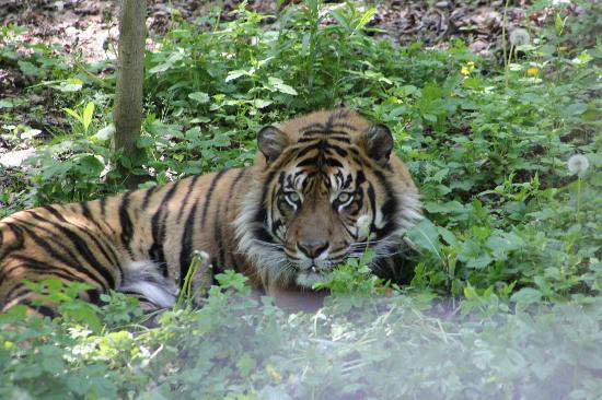Toronto Zoo: Tiger