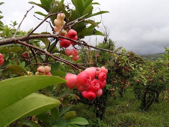 ATV Paradise Tours: Wax apple orchard -good tasting too