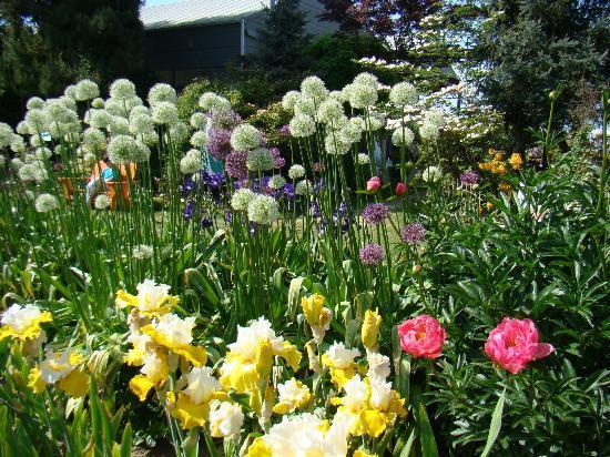 Schreiner's Iris Gardens: Field shot of many flowers blooming.