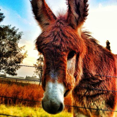 La Recompensa : Uno de los burros de la chacra.